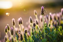 Lavender At Sunrise