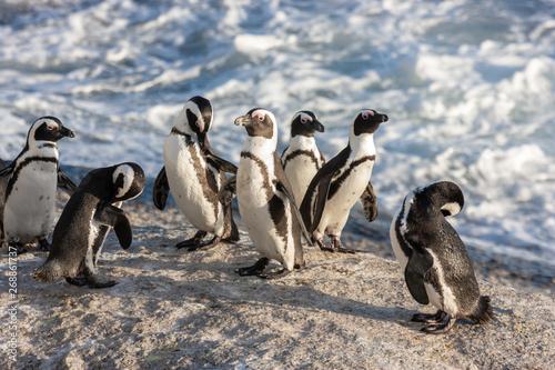 african penguin bolder beach cape town national parks and nature reserves of sou Billede på lærred