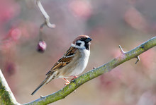 Eurasian Tree Sparrow Sitting ...