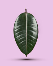 Ficus Leaf Isolated On A Pink Background