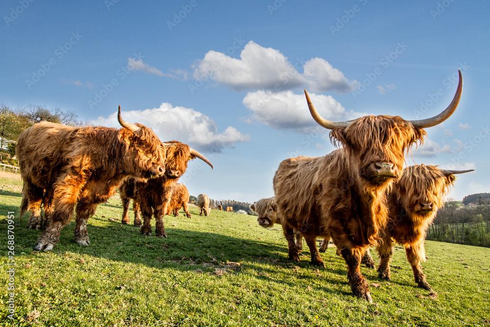 Obraz HIGHLAND CATTLE IN FARM. COW WOTH HORN. LIVE IN VILLAGE fototapeta, plakat