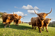 HIGHLAND CATTLE IN FARM. COW WOTH HORN. LIVE IN VILLAGE