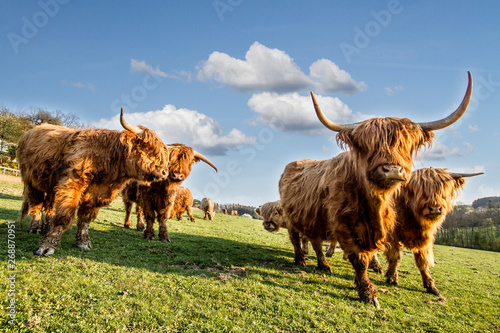 Fototapeta HIGHLAND CATTLE IN FARM. COW WOTH HORN. LIVE IN VILLAGE obraz