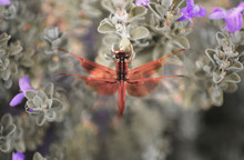 A Bright Red Dragonfly On A Shrub With Purple Blooms