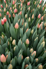 Blooming Hothouse Tulips