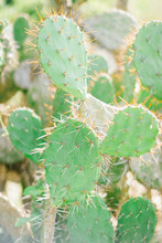 Thorny Bright Cactuses In Close-up