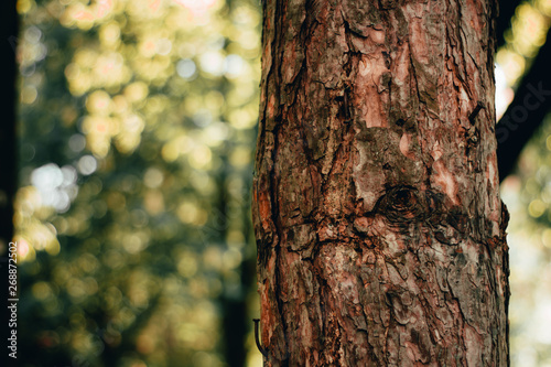 Fotografija  Young tree trunk with a rough texture on a bright sunny day in a garden or fores