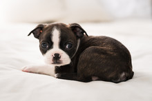A Boston Terrier Puppy Curled ...