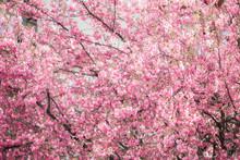 Sakura Tree Close Up