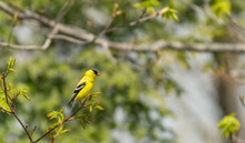 Perched American Goldfinch