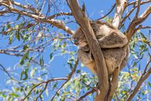 Beautiful Koala Asleep On Top Of A Eucalyptus Against The Blue Sky, Kangaroo Island, Southern Australia