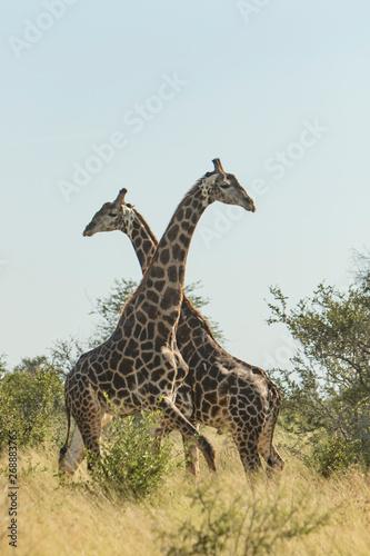 Poster Giraffe two giraffes fighting in the bush