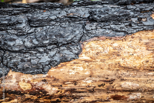 Fotografie, Tablou Close-up of burned bark of a  tree in burned forest