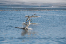 White Swan Floats On Water Surface