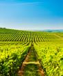 Leinwandbild Motiv wineyard near Villany in Hungary