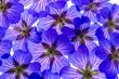 Leinwandbild Motiv a nice floral background from purple flowers garden Geranium