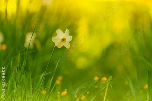 La pose en embrasure Narcisse Blumenwiese mit weißer Narzisse