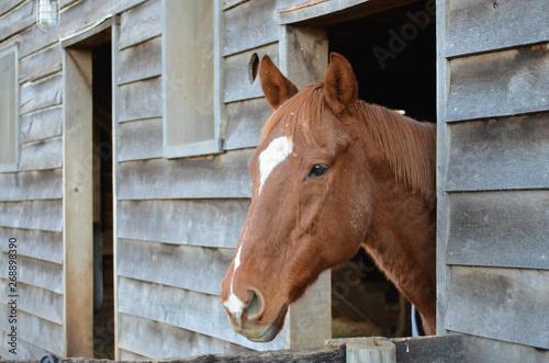 Retired Thoroughbred Race Horse on Farm near a Barn
