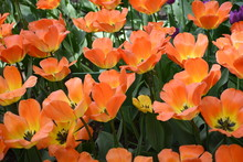 Lawn Of Tulips At The Spring Exhibition Of Fresh Flowers