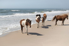 Wild Ponies Of The Assateague ...