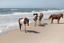 Wild Ponies Of The Assateague Island National Seashore, Maryland