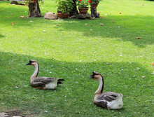 Family Of Chinese Geese In The...