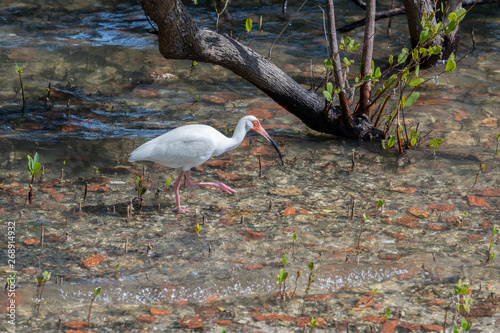 Ibis wading in the shallow waters  near the coast in Florida