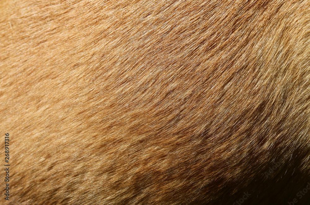 Fototapeta fell hund mischling kurzhaar