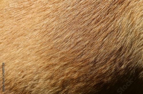 Obraz na plátně fell hund mischling kurzhaar