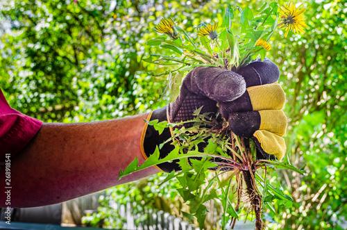 Fototapeta Gloved hand holding pulled dandelion plants obraz