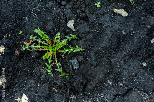 Fototapeta Green weeds in black dug earth