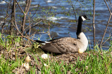 A Mama Goose Hatching Eggs. A ...