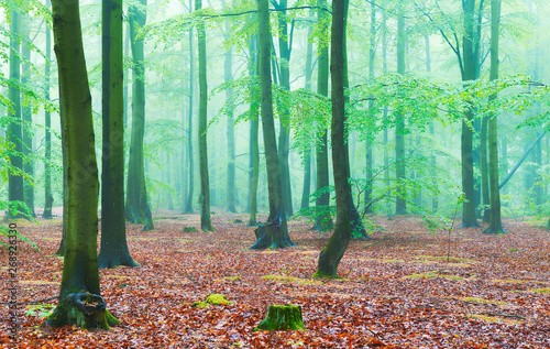 Garden Poster Forest Misty morning in the old beech forest
