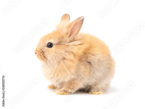 Fototapeta Orange-brown cute baby rabbit isolated on white background. Lovely action of young rabbit. Side view of furry rabbit sitting. obraz na płótnie