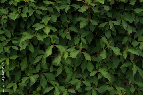 ドウダンツツジの葉