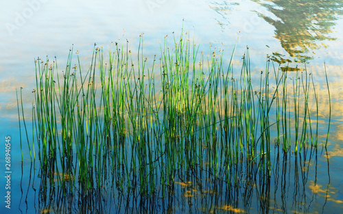 Fotografie, Obraz  Reflection Of Aquatic Plants And Sunlight In The Water Of The Lake
