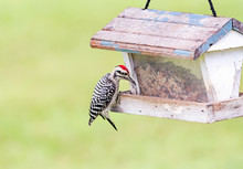 Ladder-backed Woodpecker On Gr...