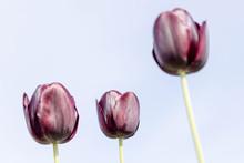 Purple Tulips Against Blue Sky