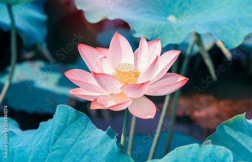 Photo Stands Lotus flower pink lotus flower plants blooming