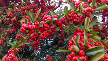 Frutos De Espinheiro (Pyracantha Koidzumii)