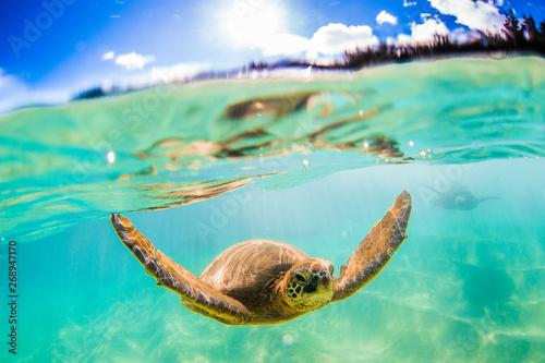 Poster Tortue Hawaiian Green Sea Turtle cruising in underwater Hawaii