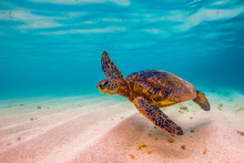 Hawaiian Green Sea Turtle Cruising In Underwater Hawaii