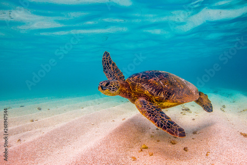 Fotografía  Hawaiian Green Sea Turtle cruising in underwater Hawaii