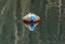 Ruddy Duck On The Lake