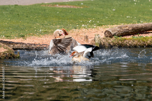 Fotografie, Tablou  fight geese in the pond