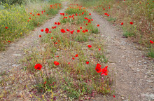 Poppies Growing On A Dirtroad ...