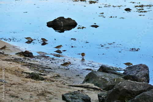 Obraz na plátne Stints reflecting in the water at a sandy beach on Snaefellsnes peninsula
