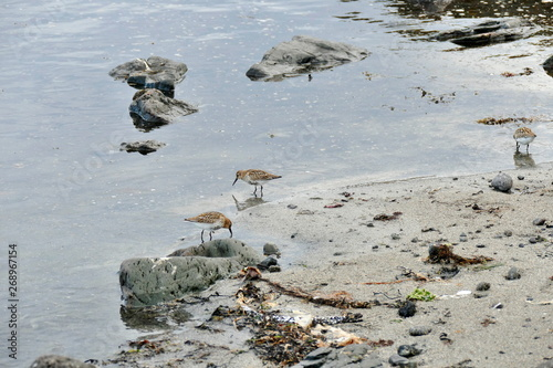 Fotografie, Tablou  Stints in the shallow water at a sandy beach on Snaefellsnes peninsula