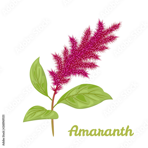 Amaranth plant isolated on white background Wallpaper Mural