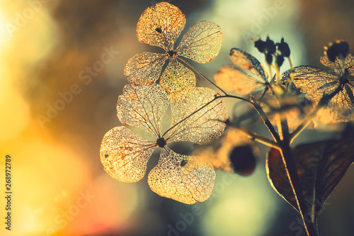 Obraz na plátně  Texture on dry hydrangea flowers with beautiful sun light